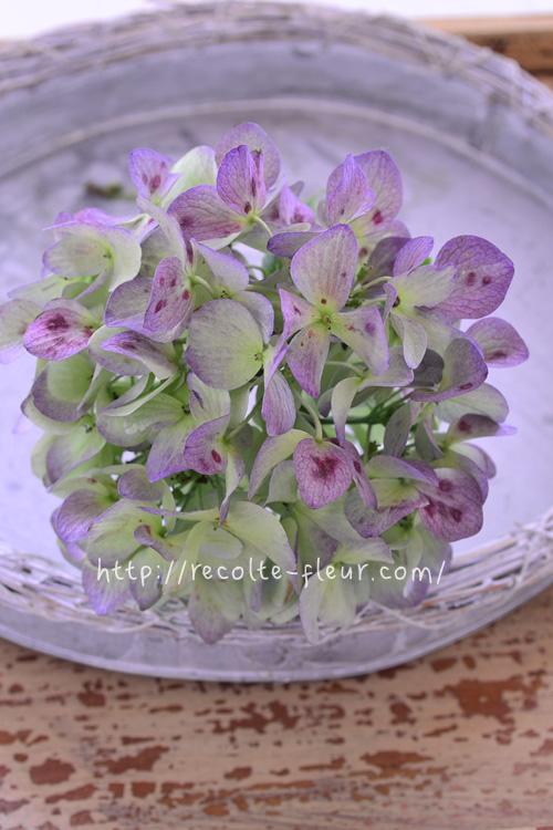 秋色あじさい(紫陽花)とは、もともとは品種名ではなく、通常のあじさいの開花時期である初夏に咲いた花が、気温の変化などによって、時間をかけてアンティークカラーの色あいに変化した状態のことを「秋色あじさい」と言います。ただ最近は、新しく品種改良されてできたあじさいの中には、きれいな秋色に変化するように作られている品種も出てきました。西安(シーアン)やマジカル系などは秋色あじさい系の品種です。