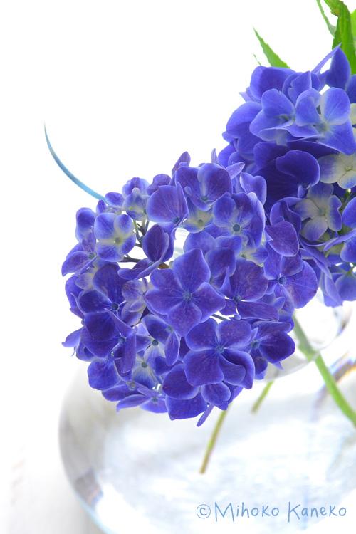 例えば、梅雨の時期に咲くあじさいや花屋さんで買うことのできる西洋あじさいは、きれいなドライフラワーになりにくいあじさいです。