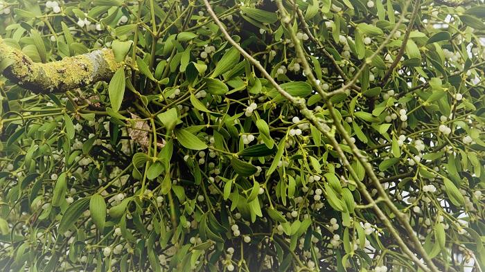 粘着性のある果実を使って種子を拡散し、他の樹木に寄生して生長するヤドリギ。人間だったら考えられない厚かましさですが、それでもなぜか可愛いのがヤドリギの魅力です。お散歩に出たら、まあるく形作られた緑色の鳥の巣のようなヤドリギを探してみてください。意外と身近なところにいるものですよ。