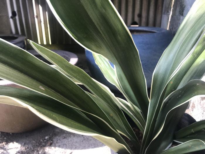 万年青(オモト)は、この漢字からも伝わる通り、いつも青々と色褪せず、葉の様子も張りのある美しいグリーンをしている事から長寿や健康を司る縁起の良い植物として日本では400年も前から交配が繰り返され1000種以上の豊富な品種があり親しまれ愛されてきた古典園芸植物です。  葉の長さが30~40センチにまで成長する大葉系という種類はのびやかな様子に運勢の上昇を感じさせたり、中葉系は中でも3種類に分けら20センチ前後の中型サイズ。1.薄葉系、中でもやや小柄で葉が薄いものを指します。2.獅子系、葉先が内側に向かってカールしている品種群で、葉の先端がうねったようにカールする葉芸を愛でられユニークな形状が愛好者の興味を誘います。3.縞甲系、葉が細長く、厚みがあるタイプの品種です。羅紗系(らしゃけい)は小ぶりな5センチ前後で、重なる整った葉の連なりを楽しみます。