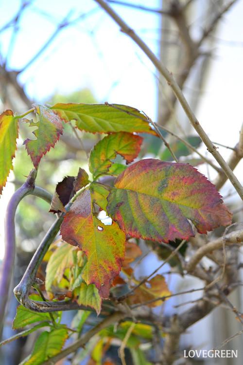 ブラックベリーは紅葉も美しいベリーです。葉の色づき方は、その年の気温の上がり下がりで色合いが違います。