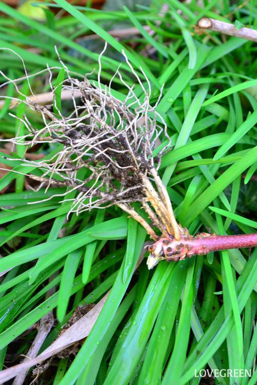 土につけておいたブラックベリーのツル。簡単に発根します。  ブラックベリーは、簡単に増やすことができます。ブラックベリーの根は、葉の真下から出てくるので、伸びたツルを土につけておくと、そこから発根します。増やしたくない場合は、夏場に旺盛に伸びるツルが地面についてしまわないように、誘因はまめにしましょう。