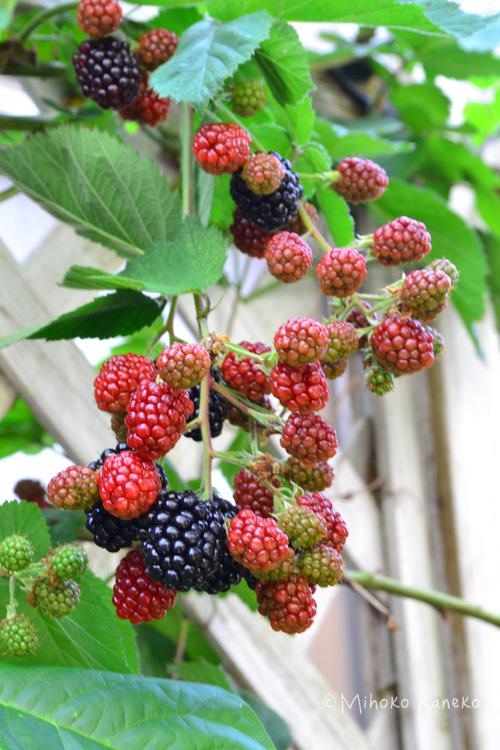 6月ごろからブラックベリーの実は徐々に色づき始め、最初の実が黒くなるのが6月下旬ごろ。そこから1か月間くらいが収穫期間です。同じ房につく実でもいっぺんに真っ黒にはなりません。