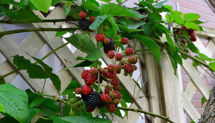 地植えにすると品種にもよりますが、東京で7月上旬から実が黒くなりだして、8月の上旬くらいまでの約1カ月間、ほぼ毎日実を収穫することができます。