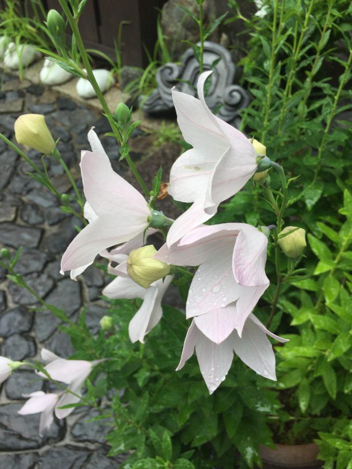 桔梗の花言葉は「永遠の愛」「気品」  紫の桔梗の花言葉は「気品」  白の桔梗の花言葉は「清楚」