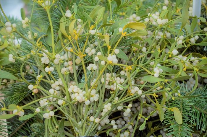 科名:ビャクダン科(※ヤドリギ科とされることもある)ヤドリギ属  分類:半寄生灌木  学名:Viscum aibum  英名:Mistletoe     樹木の上の方に丸く鳥の巣のような形状で寄生する植物です。正確には半寄生植物。簡単に言うと、「半分くらいは宿主となった樹木から水分とか養分とかもらうけど、残り半分くらいは自分でも光合成を頑張るよ」という植物です。