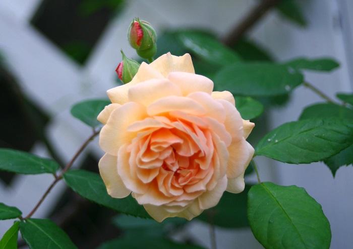 切り花のバラは、1年を通して流通しているバラですが、本来のバラの開花時期は、初夏と秋。5月はバラの本来の開花時期です。バラが植栽されている植物園では、バラのフェスティバルが行われるのも5月です。