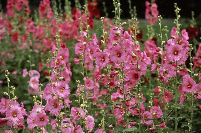 タチアオイ  学名:Althaea rosea  科名:アオイ科タチアオイ属  分類:1年草  和名:タチアオイ(立葵)  英名:Holly hock  花期:7~9月  夏、すっと空に向かって真っすぐに伸びるタチアオイの姿は、後ろめたさの欠片もない潔さを連想させます。その草丈は大きなもので2m程にもなります。和名の「タチアオイ」は、その真直ぐに伸びる姿から名付けられました。英名の「Holly hock(ホリホック)」とう呼称の方が馴染み深い方も多いかもしれませんね。