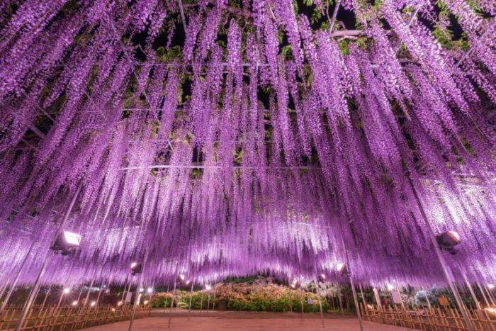 樹齢150年におよぶ大藤と四季折々の花が楽しめる「花楽園」。600畳敷き藤棚を持つ大藤、長さ80mもの白藤トンネル、きばな藤トンネルなど350本以上の藤が咲き誇り、観るものに感動を与えます。うす紅・紫・白・黄色の順で咲き、約1ヶ月間楽しめます。同じく見頃を迎えるクルメツツジ、5~6月にはバラ・クレマチス・しゃくなげ・花菖蒲も園内を彩ります。