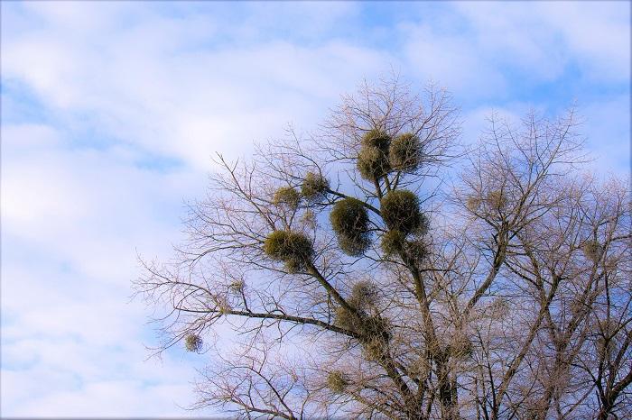ヤドリギのちょっと残念な特徴は水落ちしやすいという点です。元々自力で水を吸い上げる力が弱いので、切り花で出回っているものはすぐに乾燥してパラパラと落ちてきてしまいます。乾燥しやすい特徴を生かしてドライフラワーにしたいところですが、乾燥すると葉も枝もバラバラに落ちてしまうので歯がゆいところです。