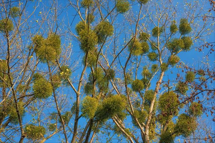 ヤドリギは冬になるとその神秘的な姿から注目を浴びますが、夏も存在しています。夏は宿主の樹木が葉を茂らせているせいもあって、気づかれにくいようです。冬に周りの樹が落葉したときにその姿を現します。ゲレンデで見たことはないでしょうか。雪山で宙に浮くように丸くグリーンの塊が見えるのは圧巻です。