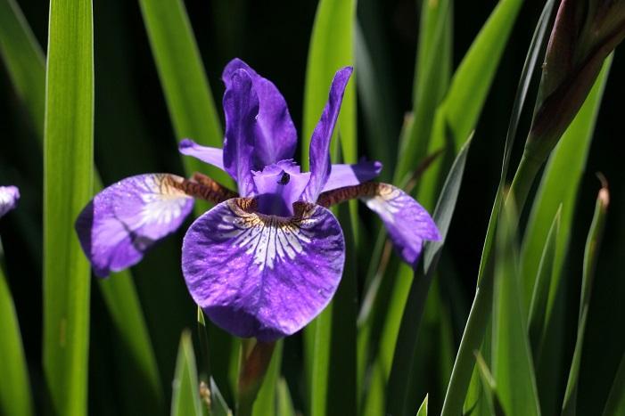 開花時期5月~6月  アヤメ、花菖蒲、カキツバタと見た目が似た花がありますが、5月のゴールデンウィークの頃に咲くのは、アヤメ、その後カキツバタ、花菖蒲の花の見ごろは、もう少し遅い6月です。その他の見分け方は、まず生息地。陸地に生えているものはアヤメで、水辺や湿地に生えているものはカキツバタかハナショウブです。次に花弁のつけ根を見ます。花びらの弁元に網目状の模様があるのはアヤメ、つけ根が白色のものはカキツバタ、黄色ならハナショウブ、という風に見分けましょう。