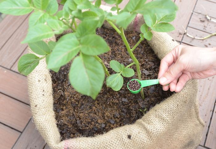 作物の種類によりますが、追肥とは、生長段階において土壌に足りなくなった栄養分を足してあげる作業です。決まった分量を量るので、理科の実験のように軽量して施すようにしてみてはいかがでしょうか。慣れてきたら目分量でも構いません。根の伸びているところに施すので、いつもは見えない土中の部分にも観察の目を広げられます。