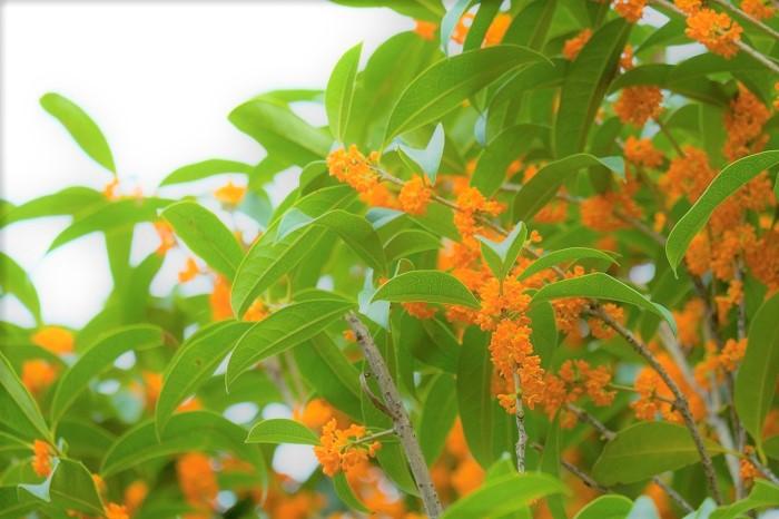 キンモクセイ 学名:Osmanthus fragrans  科名:モクセイ科  分類:常緑小高木  原産地:中国  花期:9月末から10月  植え時:3~5月、9~10月    キンモクセイはその圧倒的で魅惑的な香りに反して、地味とも言える小さなお花を咲かせます。秋、ふわりと風に乗って甘い優しい香りがしてきたら、キンモクセイの季節です。辺りを見回してください。光沢のある深いグリーンの葉の中に、オレンジ色の小さな小花の集合体が見つかるでしょう。香りの元、キンモクセイのお花です。