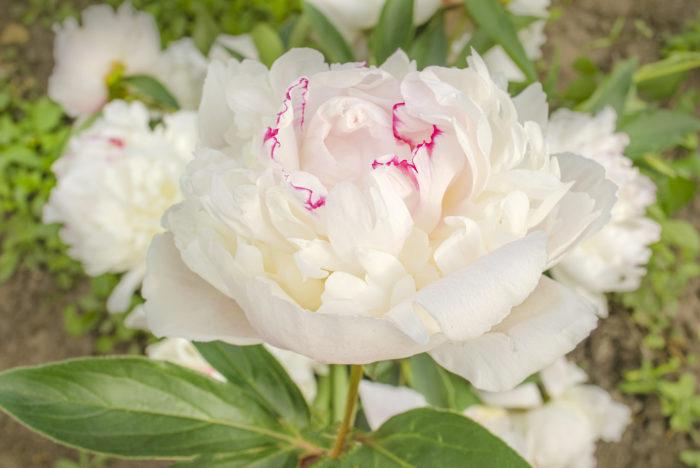 芍薬は50㎝~120㎝茎先に大型の牡丹によく似た10cmくらいの花をつけます。花びらの数は5~10枚が多く、もっと多いものもあります。    花の色は紅色や桃色のほか、紫紅色や白などがあり、花の形は「一重咲き」「八重咲き」「翁咲き」などの種類があります。  薔薇の花や百合の花の様に、一年中お花屋さんで並ぶお花とは違い、この季節の2ヶ月だけ楽しめる旬のお花です。  真夏に差しかかる少し前の初夏によく似合う爽やかな甘い香りと柔らかな花びらの様子はとても魅力的です。  日本に古くからある美しい女性を例えた言葉で「立てば芍薬、座れば牡丹、歩く姿は百合の花」という言葉がございますが、芍薬の花が咲いたときのその美しさは息をのむ美しさです。  芍薬の花言葉 シャクヤク(芍薬)の花言葉は「はじらい」「慎ましさ」。  ピンクのシャクヤクは「はにかみ」。  白のシャクヤクのは「幸せな結婚」。  赤のシャクヤクのは「誠実」。