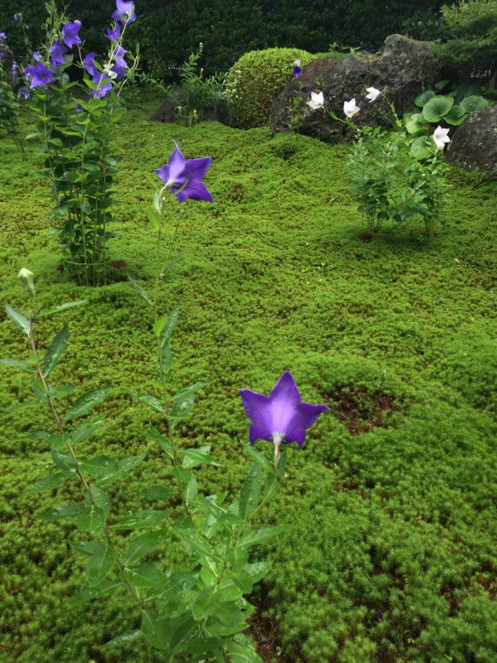 桔梗(キキョウ)は日本でも古くから親しまれている植物で清々しい青紫色をしている星形のお花です。  他にも白色や淡いピンク色、咲き方も八重咲きの花もあります。蕾は紙風船の様な形をしていて五枚の花びら同士がくついていています。  蕾は咲く寸前までふんわり膨らんで、その姿は愛らしく音をたてて咲きそうな雰囲気です。後ろ姿も艶やかで夏の夕暮れ時に見かけると色香漂いその美しさに見惚れてしまいます。  どんな角度から見ても美しい表情を楽しませてくれる桔梗。  桔梗(キキョウ)は古くから秋の七草の中の花として親しまれてきました。  秋の七草はの始まりは奈良時代、山上憶良が万葉集で詠んだ歌が由来とされます。  「秋の野に咲いている花を、指を折って数えてみれば、七種類の花がある」といった内容の和歌です。  また万葉集の中でで歌われている「朝がほ」と詠まれているのは桔梗(キキョウ)を指すといわれています。  秋の七草は観賞用として生けられるのが一般的ですが、うち6種は薬効があるそうです。  また、秋の七草よりも馴染みのある春の七草ですが、春の七草は平安時代に始まり、秋の七草の方がその歴史が長いようです。  覚え方は植物の頭文字をとって、  ・おすきなふくは  「おみなえし(女郎花)」「すすき(尾花)」「ききょう(桔梗)」「なでしこ(撫子)」「ふじばかま(藤袴)」「くず(葛)」「はぎ(萩)」。  ・おきなはすくふ(「沖縄救う」の旧仮名遣い表記ではこのように覚えられている時代もあったようです。)  「おみなえし(女郎花)」「ききょう(桔梗)」「なでしこ(撫子)」「はぎ(萩)」「すすき(尾花)」「くず(葛)」「ふじばかま(藤袴)」