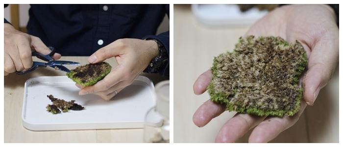 もふもふの芝生となる苔がホソバオキナゴケ。なるべくビンの中に他の菌が入らないように、土をハサミで切っていきます。