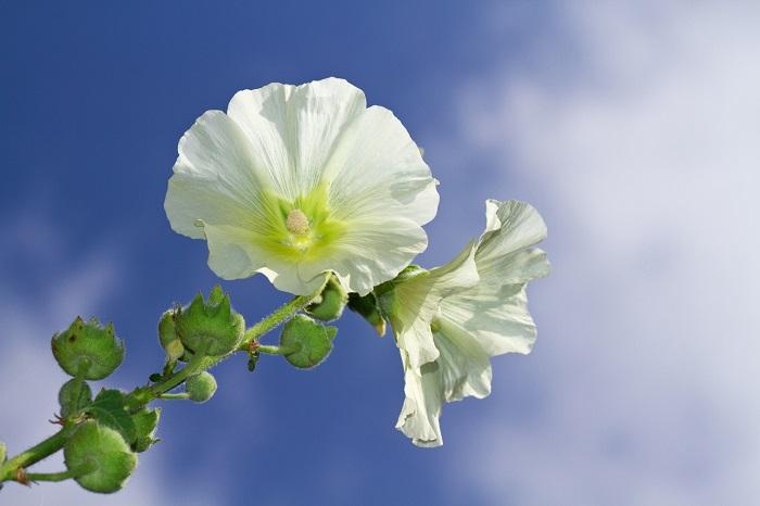 タチアオイは非常に強健で、あまり手を加えずとも夏の間は次々と花を咲かせてくれます。そんな丈夫なタチアオイですが、蒸れに弱いという弱点があります。梅雨の時期に株の根元が蒸れてカビが生えてしまったりすることがないように、株と株の間はしっかりとスペースをとりましょう。タチアオイは真直ぐに太陽に向かって伸びていくようなお花です。必ず日当たりと風通しのよい場所で管理してあげてください。