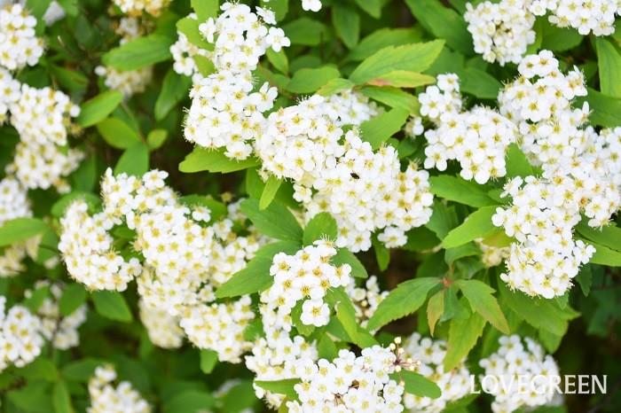 コデマリ(小手鞠)の花言葉