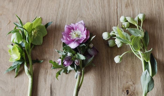 ※左から、一重咲きのグリーン、八重咲きのパープル、原種のフェチダス  今年は、しっとりと愛らしい花クリスマスローズに癒されてみませんか?穏やかで力強い姿に勇気づけられそうです。