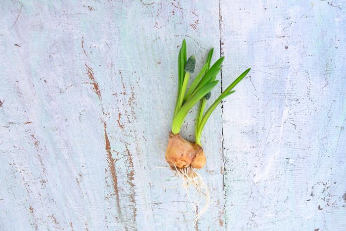 スペースに余裕のある方は、だめで元々で土に埋めてみてはいかがでしょうか。球根を埋めるタイミングは、花が終わったらすぐ。花がついている茎を根本で切って、土に埋めます。