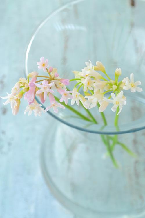 ツルバキアもキルタンサス同様、品種がいくつかあって、品種によって開花時期が違う球根花です。切り花で一番多く流通しているのは写真のツルバキアで、色は白やピンクで春の球根花が出回る時期に流通しています。一輪に小さな花が複数ついていて徐々に開花するので、終わった花は根元から取り去るのが最後まできれいに見せるポイントです。小さな星のような形の花が花火のように咲く姿は、とてもかわいらしい雰囲気です。ツルバキアも生ける時の水の量は「浅水」で生けます。