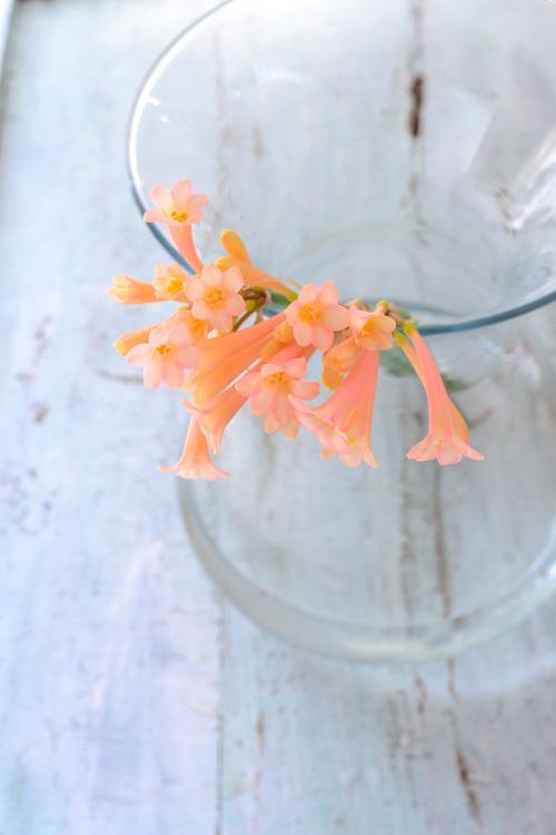 ラッパみたいなユニークな形の花のキルタンサス。春に出回る球根の切り花です。キルタンサスは、和名だと「笛吹水仙」という名前がついています。  キルタンサスは、園芸上だとたくさんの品種があって、冬に咲くものもあれば、夏に咲くキルタンサスもあります。切り花として一番出回りが多いのは、写真のような冬に咲くタイプのアプリコット色や黄色の種類です。