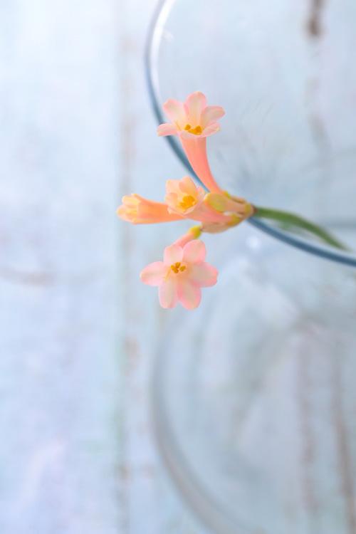 キルタンサスは、一輪に複数の花がついています。いっぺんに花が開くのではなく、徐々に開花するので、終わった花を根元から取り去ると、最後まできれいに見えます。
