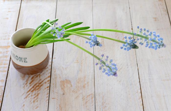 茎が伸びて、ほぼすべての花が開花しました。今回のムスカリは空色の淡い色のムスカリでした。
