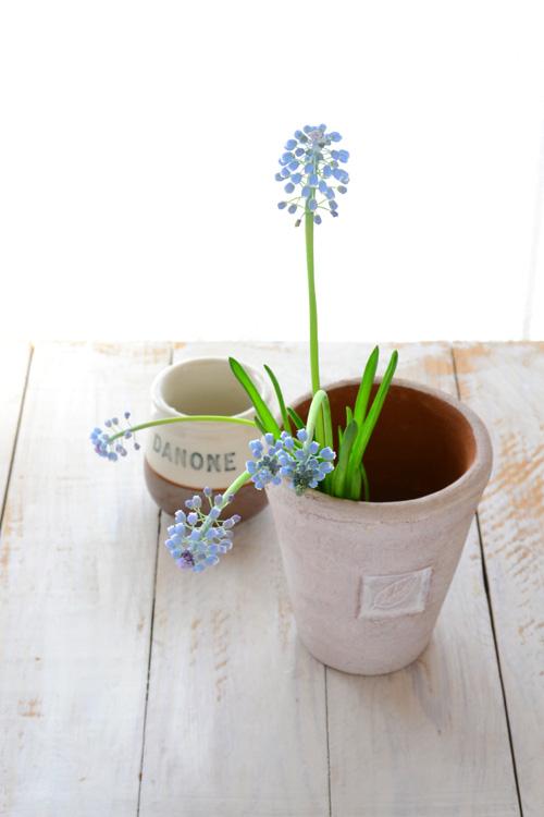 花瓶に対してムスカリが伸びてバランスが崩れたので、今の丈にあう器にチェンジしました。
