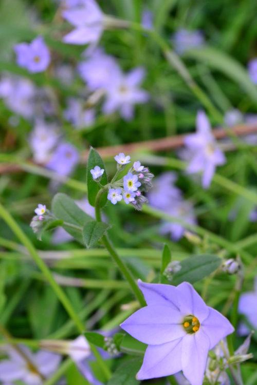 キュウリグサはムラサキ科の雑草。ワスレナグサも小さな花ですが、それよりもさらに小さな水色の花で、花のサイズは1ミリほど。葉っぱをこすったり、ちぎったりすると、キュウリの香りがすることから、名前がついたそうです。色はワスレナグサより淡い水色の花が4月ごろに開花します。とても小さいので見落としてしまうほどの花ですが、日本全国あちこちで見かけることができます。