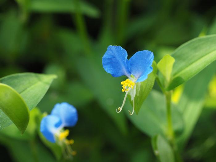 ■和名 ツユクサ(露草)  ■学名 Commelina communis    ■一年草  高さは15cm~30cm程で、直立せず地面に這うように茎は半日影で育ちます。開花の季節は6月~9月。1.5cm程の青色の花を咲かせます。早朝に咲いた花は午後には萎んでしまいます。  花びらは3枚あり羽の様に上を向いている2枚は大きく青色、下の1枚は小さく白色で目立ちません。黄色のおしべが1本、めしべが6本あり青い花びらの上でのコントラストが可憐で鮮やかです。  ツユクサの別名は「蛍草(ほたるぐさ)」「藍花(あいばな)」「青花(あおばな)」「移草(うつしぐさ)」「月草(つきくさ)」「鴨頭草(つきくさ)」「帽子花(ぼうしばな)」など。別名も多く、夏の季語でもよく使われる花です。