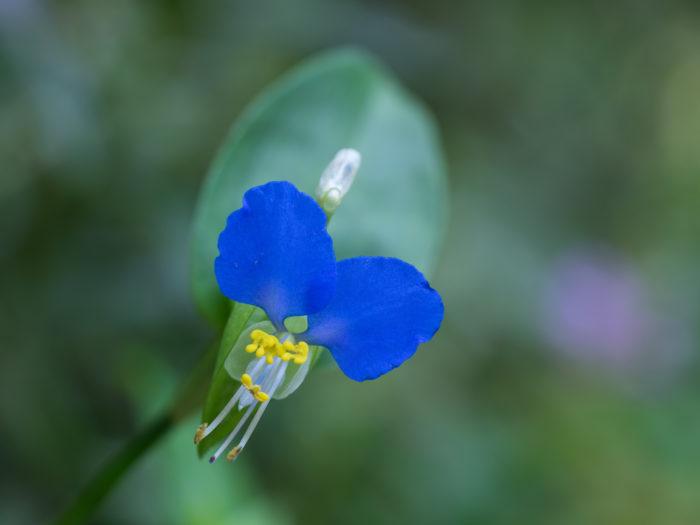ツユクサ(露草)は、その美しい青色と朝咲いて昼には萎んでしまう様子から、いつの時代も儚く美しい植物として人々の心を動かしてきました。  ■学名の 「communis」は「普通の」という意味。「Commelina(コメリナ)」は、オランダの植物学者ヤン・コメリンとその甥の植物学者カスパル・コメリンにちなみます。  コメリン家には3人の植物学者の兄弟がいました。そのうち2人は植物学者として名を残し、1人は早くに亡くなってしまいました。  この出来事が目立つ青色の花びら2枚と、目立たない白い花びら1枚を持つ露草と似ているため、フランスの植物学者シャルル・プリュミエがこの名を付け、スウェーデンの分類学者カール・フォン・リンネがこれを学名として採用したのだそうです。  青色の美しい二枚の花びらと、隠れるようにひっそりと白色の花びらは、有名になった二人の植物学者と、早世したもう一人の植物学者を彷彿とさせるものとして、プリュミエやリンネの目に映り、三人の学者にまつわるエピソードは、つゆくさ(露草)の学名に記憶され、現在にも伝わることとなりました。  ■ツユクサ(露草)は万葉集にも詠まれるほど親しまれてきました。多くの別名を持つツユクサ(露草)ですが、万葉集では「月草(ツキクサ)」「鴨頭草(ツキクサ)」の名で表現されています。万葉集にはツユクサ(露草)を詠んだ和歌が9つありますが、どの歌もツユクサ(露草)が朝に咲いて昼を待たずに萎れてしまう性質から儚い気持ちを詠うものが多く、移ろいやすさを恋心に例えたり、恋しい人の移り気を不安に感じたり、逆に移ろいやすい恋心ではない強い気持ちを表したりと恋の歌で多く詠まれてきたようです。  夏の木陰で万葉集からツユクサ(露草)の歌を探してみるのも素敵ですね。