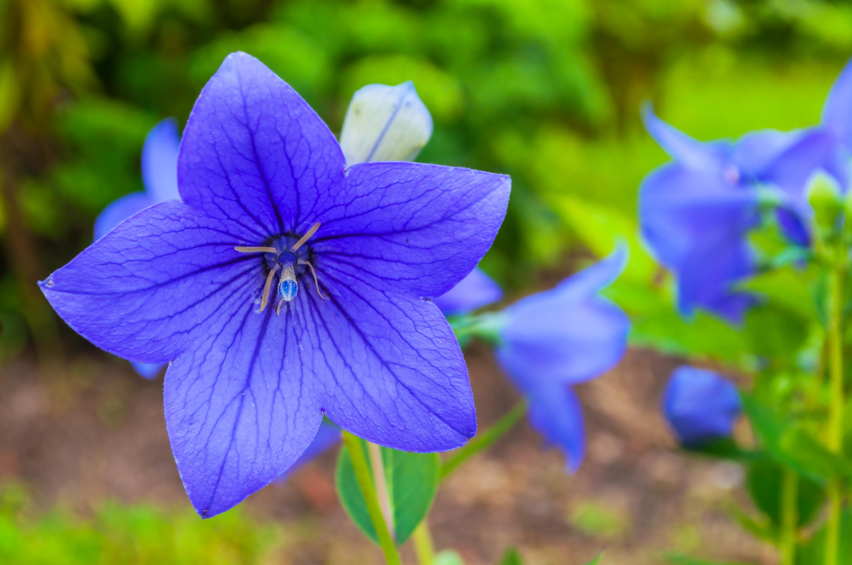 キキョウ科の多年生草本植物です。青紫色、白色、淡いピンク色のお花があります。最近は八重咲きの品種などもあり、その種類も増えてきました。日本全土、朝鮮半島、中国、東シベリアに分布しています。  真夏日でも生育が衰えず-10℃でも影響を受けない丈夫な植物です。  草丈は15~150cm、開花期時期は5月中旬~9月頃。  現在花屋に並ぶのは栽培されている初夏の早咲きの種が多く、本来の時期に自生で咲く姿は、ほとんど見られなくなってしまった絶滅危惧種です。  桔梗(キキョウ)は万葉集のなかで秋の七草と歌われている朝貌と表記されています。