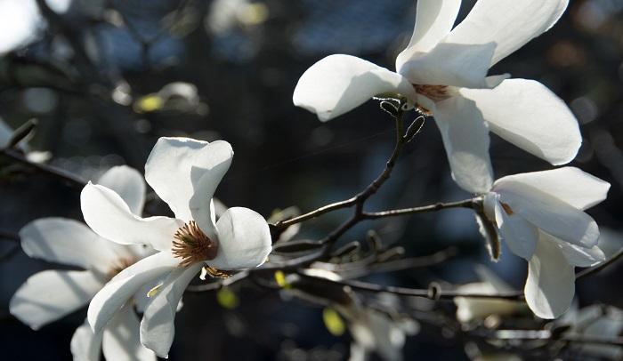 コブシは早春白い花をたくさん咲かせます。花の咲く時期に合わせて農作業を進めたことから、「田打ち桜」とも呼ばれました。