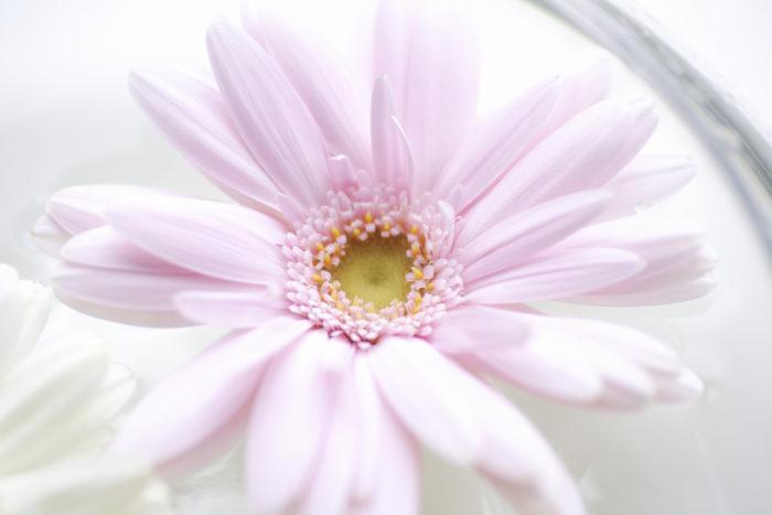 お水を替えながら少しずつ茎を切り戻していくと、だんだんガーベラの茎が短くなってゆきます。ガーベラは丈夫なお花で丁寧なお水換えをしていると季節にもよりますが冬季から春先にかけては3週間以上も長持ちするお花です。  短くなりすぎてしまったガーベラは花の頭が重いので生ける花器に迷う事があると思いますがそんな時は思いきって花を短く切り水盤やお皿などに浮かべて楽しむ方法もあります。  平らな形のガーベラは水盤にスッと浮かび花びらに動きなども出て来て違った表情を楽しませてくれますよ。この生け方は思いがけず茎だけ枯れてしまった場合や花首だけ折れてしまった場合にも同じように楽しむ事ができます。