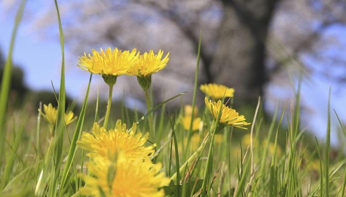 タンポポはキク科タンポポ属の総称です。この時期に咲いているのが見られるタンポポはほとんどが日本の在来種であると考えられます。夏場に咲いているのは外来種(現在は帰化種ともいう)である西洋タンポポがほとんどです。タンポポは葉や茎、根などを食用にします。特に根は利尿・健胃などの作用などがあります。