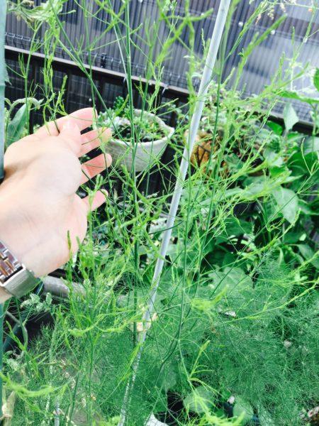 アスパラガスの茎はゆうに1mを超えるほど大きく生長します。倒れないように支柱などをたて、麻ひもで誘引するとよいでしょう。  プランターで育てるため、夏の暑さによる急激な乾燥に気を付け、直射日光が当たるようでしたら軒下に移動します。アスパラガスは半陰性植物のため1日に3~4時間ほど日光が当たれば十分育ちます。