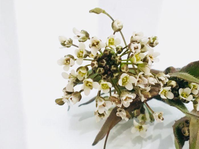 なずなの花言葉は、「全てを捧げます」。  なずなの小さくて純白の花の色が、清らかな心を感じるそんな花言葉ですね。