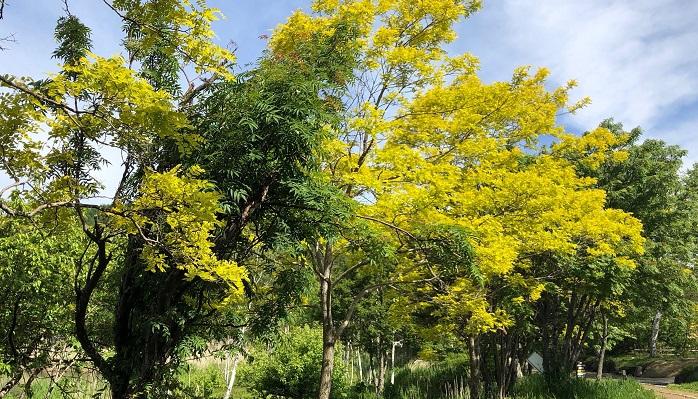 鮮やかな黄色い葉の木がハリエンジュ。蜂蜜でよくみかける「アカシア蜂蜜」は、ハリエンジュの蜂蜜で作られています。  ミモザはフランスから入ってきたアカシアのことをイギリスでそう呼んだもので、日本で植物名として通っているのはギンヨウアカシアやフサアカシアなどの名称です。2月~3月ごろに黄色いポンポンのような花をつけます。イタリアでは3月8日の国際女性デーに合わせて、女性にミモザを贈る習慣があります。日本では年末からミモザの切り花を扱っている生花店もあり、ミモザの人気がうかがえます。黄色いほわほわした花は春を予感させ、心もほわほわしますよね。