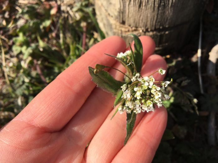 「なずな」はアブラナ科ナズナ属の植物で、漢字で「薺」と書きます。  「なずな」という名前は、「愛でる菜」から「撫で菜」になり、「なずな」になったとされています。