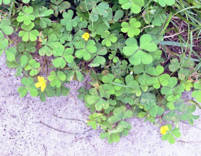 可愛らしいハートの形に騙されてしまいそうになりますが、カタバミは意外にしぶとさのある多年草です。  このカタバミは多年草で根が深く張り巡らされ繁殖力に優れているため、一度根付くと駆除が難しい雑草です。草丈は10〜30cmと小型ですが、茎は地上を這うように繁殖し、地面に接した節からさらに根を出していきます。   カタバミの花の色は黄色で、春から秋にかけて咲きます。花が終わり種が熟すとはじけ飛んでさらに繁殖していきます。また、カタバミの種には粘着物質がついているため、種に触れた人や動物などにより運ばれていく性質も持ち合わせています。