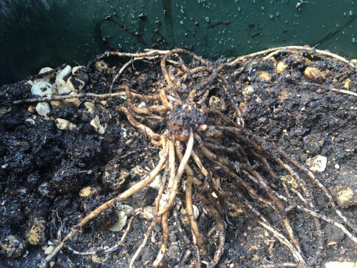 苗は芽が3cm隠れるほどの深植えにし、植え付け後は十分に水やりを行います。