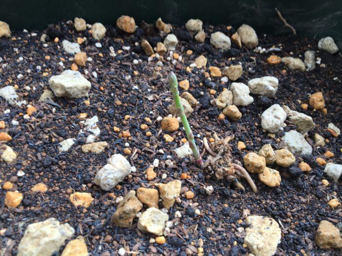 水のあげすぎに注意しながら芽が出てくるのを待ちます。植え付けた根茎から、小さくて可愛いらしいアスパラガスが芽を出しました。  食べてしまいたいところですが、ここは我慢。来季の株の生長のためにも収穫せずにそのまま育てることで、養分を根に蓄えさせましょう。