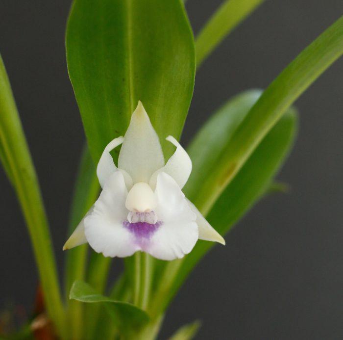 6.ワーセウィッツェラ・キャンディダ 学名:Warczewiczella candida 原産地:ブラジル、ペルー ワーセウィッツェラ属は扇状に並ぶ葉の姿から「ファンオーキッド」と呼ばれます。 リップ(唇弁)が大きく発達しており、青紫色の模様が鮮やか。開花期は主に夏。