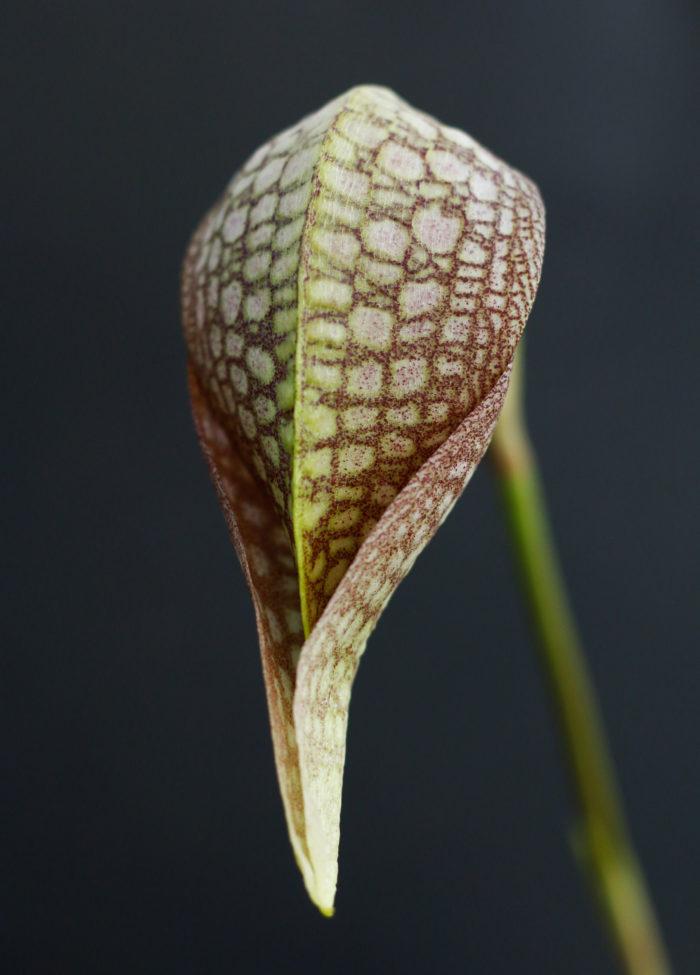 1. バルボフィラム・未同定種(アルファキアナムタイプ) 学名:Bulbophyllum sp (arfakianum type) 原産地:インドネシア、パプアニューギニア 蛇柄のような模様で特徴的な花形が印象強い中型種。バルボフィラム属はランの中でも最大級の種類数であり、多様な姿の花が魅力的。開花期は不定期。前から見た花姿がコブラのような見た目。
