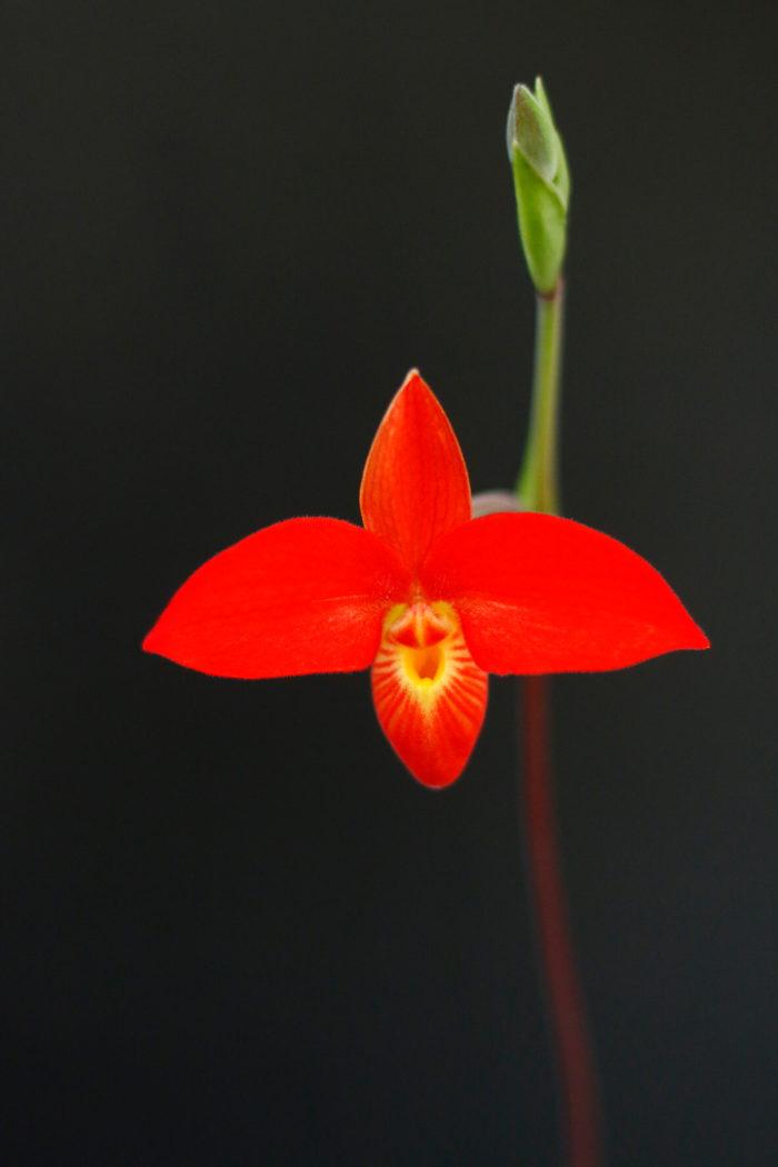 2. フラグミペディウム・ベッセー 学名:Phragmipedium besseae 原産地:エクアドル、ペルー 鮮やかな朱赤色が非常に目立つ、見る者を魅了する中型種です。水が常に滴る岩場の斜面に自生しています。高地性のランのため日本の夏の暑さにやや弱いです。開花期は不定期。
