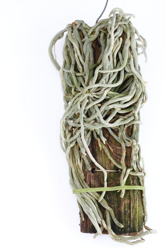 1.キロスキスタ・パリシー 学名:Chiloschista parishii 原産地:ベトナム・ミャンマー、タイ、インドなど 葉を持たずに成長し、板にまとわり着く無数の根の姿がかなり特徴的。板に着生しています。見た目でのインテリア的な観賞価値が高く、ここ最近人気が高まっている原種です。葉は無いですが、分類上はファレノプシスやバンダの近縁種。5~6月には花も咲かせます。