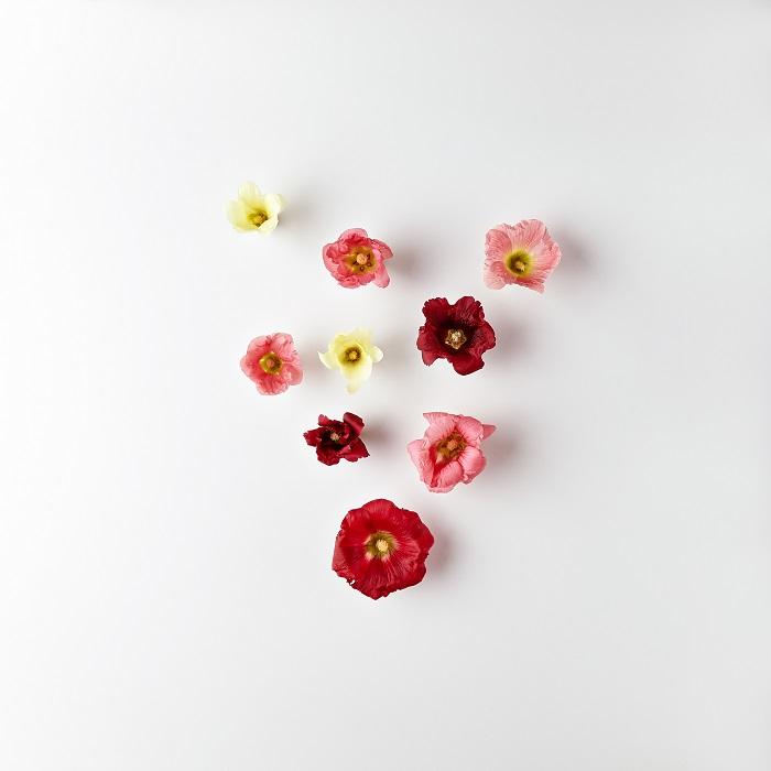 タチアオイの花は本当に種類が豊富です。一重咲きのもから八重咲きのもの、花径が5cm以上になるものや小ぶりなサイズまで、たくさんあります。さらにタチアオイは色のバリエーションも豊富で、ピンクだけでも濃淡様々あります。他にも白や黄色、紫、中心部にかけてグラデーションがかかったものや、独特の光沢のある黒花まであります。