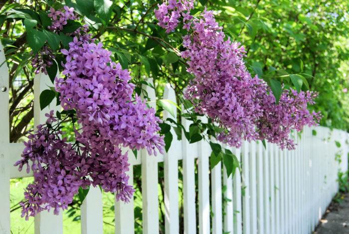 開花時期 4月~6月  ライラックは東京だと5月に咲く花木で、葉はハート形、花は円錐形に小花が房咲きになり紫色、藤色、紅色、白色などの一重や八重の花をたわわにつけます。香りが良いので、世界中で愛されている花木です。フランス語でリラ、和名はムラサキハシドイといい、ハシドイは日本に自生する近縁種の落葉小高木のことです。ライラックは冷涼な気候を好み、特に夏の夜温が下がるところを好みます。そのため東北北部や北海道、本州の高原地帯が適地といえます。これ以外の土地に植える場合は西日が当たらない日向を選んで植えましょう。  ライラックは切り花としても流通しています。2月ごろから輸入物のライラックが流通し始め、国産のライラックは4~5月ごろに出回ります。切り花としての流通期間は短いですが、とても人気のある花です。
